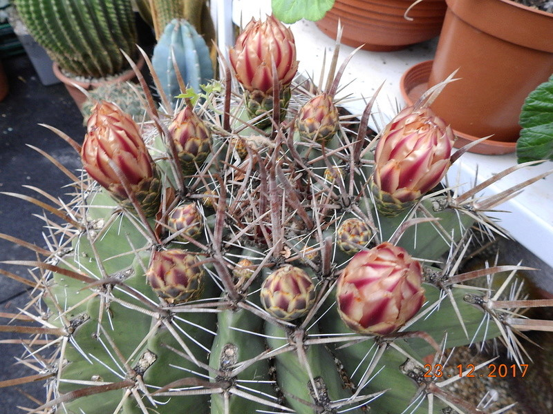Cacti and Sukkulent in Köln, every day new flowers in the greenhouse Part 183 Bild_936