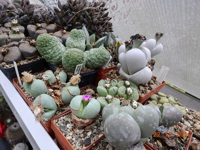 Cacti and Sukkulent in Köln, every day new flowers in the greenhouse Part 183 Bild_940