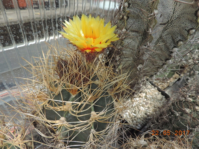 Cacti and Sukkulent in Köln, every day new flowers in the greenhouse Part 183 Bild_953