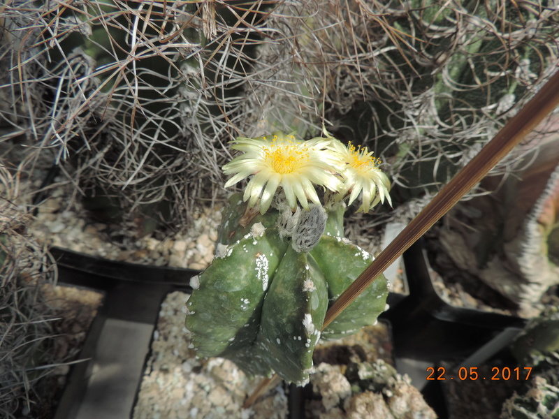 Cacti and Sukkulent in Köln, every day new flowers in the greenhouse Part 183 Bild_954