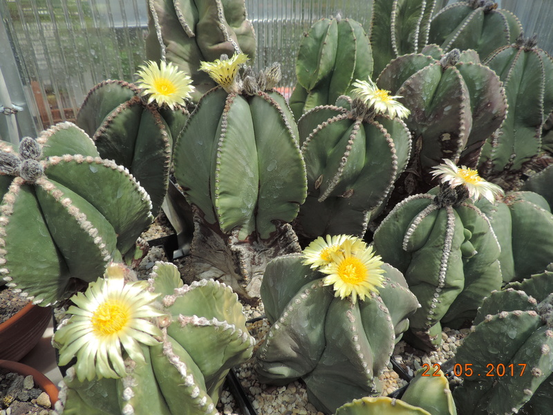 Cacti and Sukkulent in Köln, every day new flowers in the greenhouse Part 183 Bild_958