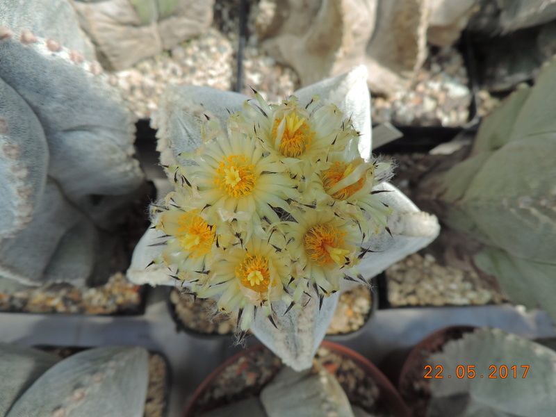 Cacti and Sukkulent in Köln, every day new flowers in the greenhouse Part 183 Bild_962