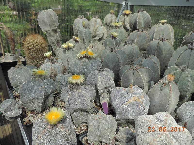 Cacti and Sukkulent in Köln, every day new flowers in the greenhouse Part 183 Bild_963