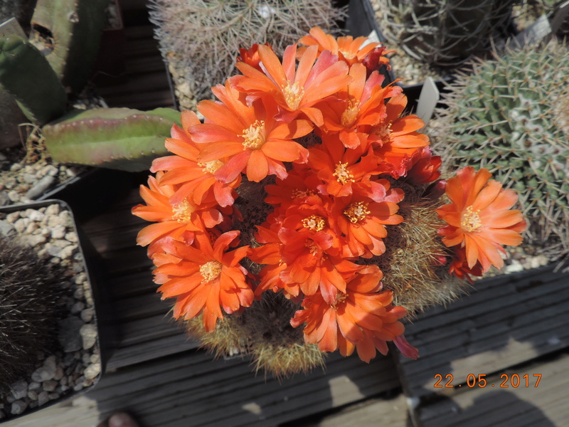 Cacti and Sukkulent in Köln, every day new flowers in the greenhouse Part 183 Bild_966