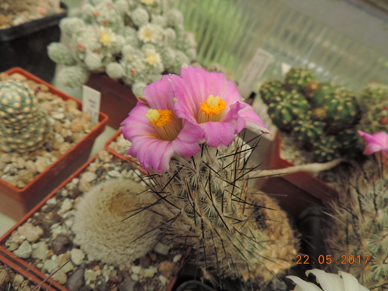 Cacti and Sukkulent in Köln, every day new flowers in the greenhouse Part 183 Bild_967
