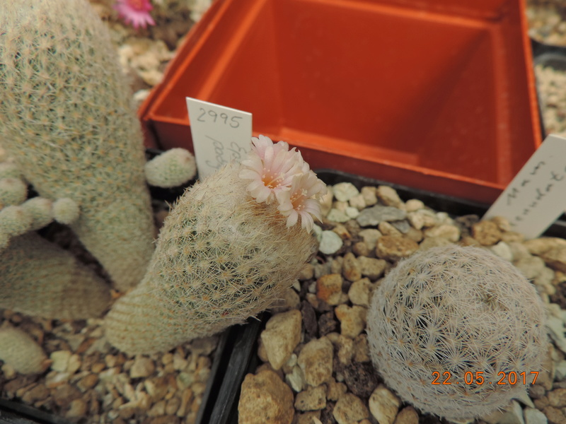 Cacti and Sukkulent in Köln, every day new flowers in the greenhouse Part 183 Bild_969