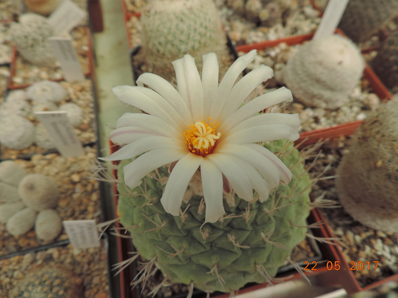 Cacti and Sukkulent in Köln, every day new flowers in the greenhouse Part 183 Bild_970