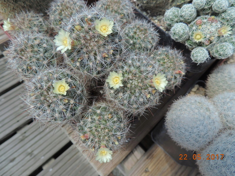 Cacti and Sukkulent in Köln, every day new flowers in the greenhouse Part 183 Bild_977