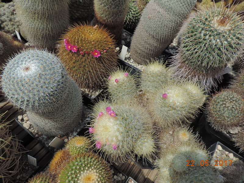 Cacti and Sukkulent in Köln, every day new flowers in the greenhouse Part 183 Bild_978