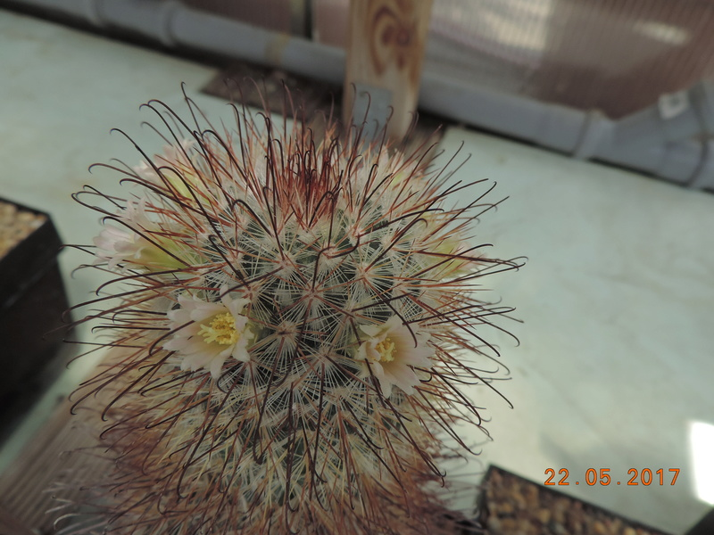 Cacti and Sukkulent in Köln, every day new flowers in the greenhouse Part 183 Bild_985
