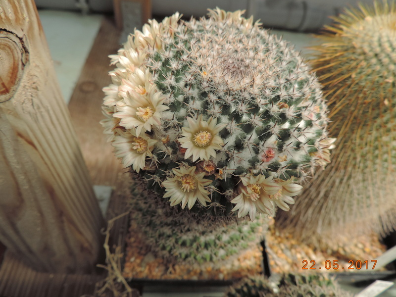 Cacti and Sukkulent in Köln, every day new flowers in the greenhouse Part 183 Bild_987