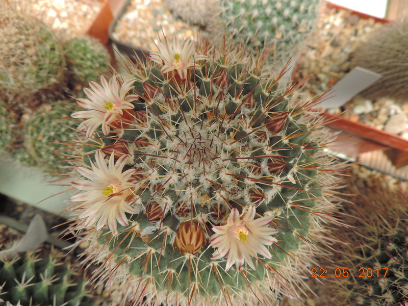 Cacti and Sukkulent in Köln, every day new flowers in the greenhouse Part 183 Bild_988