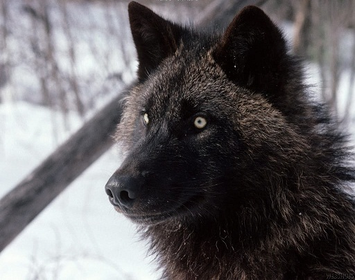 Jason Thornton  Wolf_f11