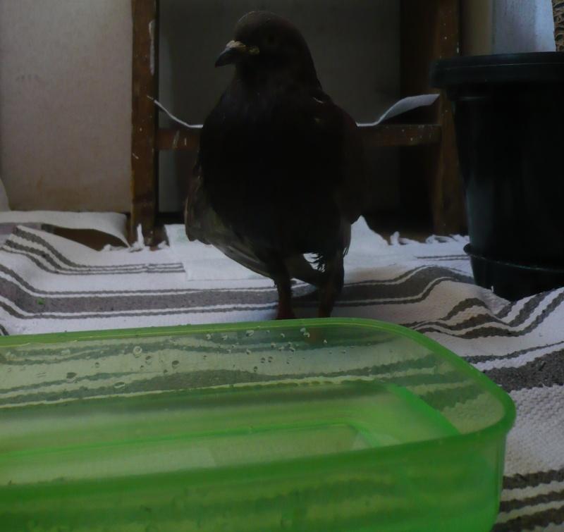 Balsa meets a Pigeon Angel - Page 2 Asa10
