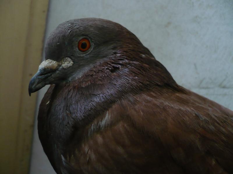 Balsa meets a Pigeon Angel - Page 2 P1020313