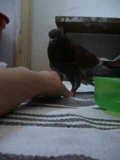 Balsa meets a Pigeon Angel - Page 2 P1020414