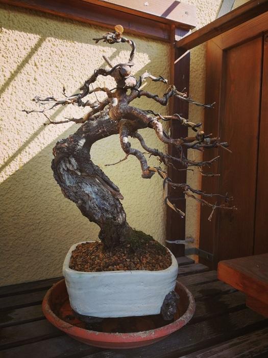 "Prunus mahaleb ""Stelo di giada"". - Pagina 5 Img_2053"