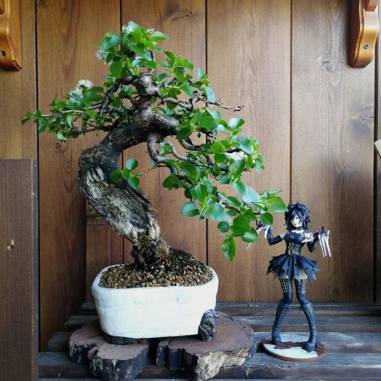 "Prunus mahaleb ""Stelo di giada"". - Pagina 5 Img_2079"