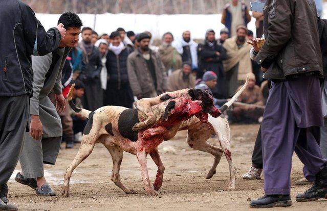 """la technique du """"combat de chiens"""" à l'oeuvre en iran 00043b10"""