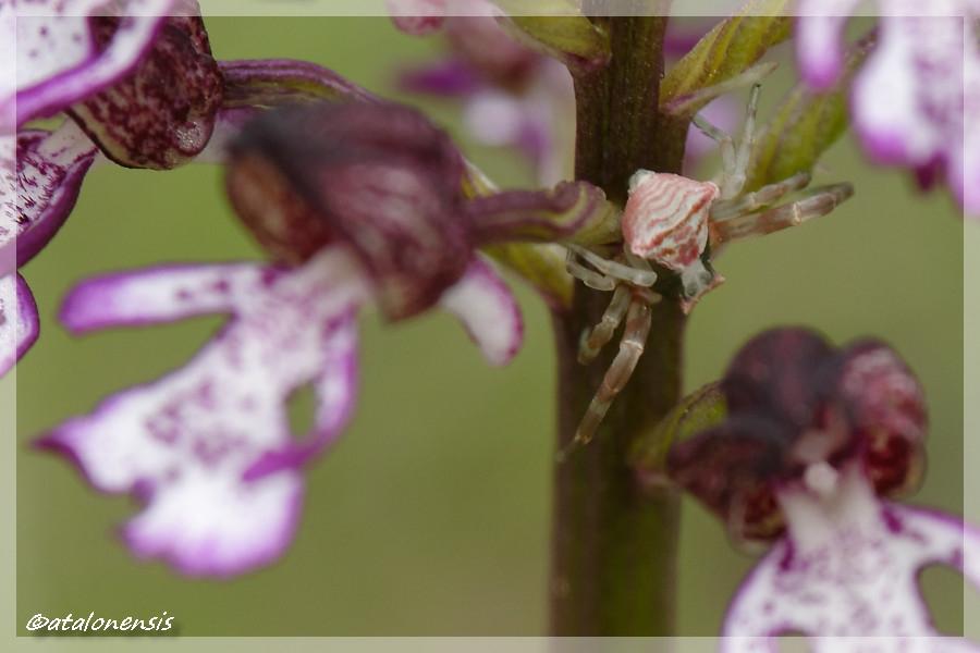 orchidées et araignées - Page 4 Dsc_9210