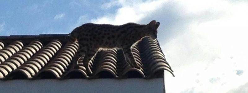 Hérault : appelés pour neutraliser un léopard dangereux, les gendarmes arrêtent... un chat 14513411