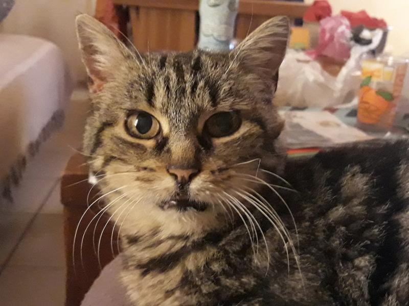 Choupette, femelle type européenne tigrée estimée née 03/03/2012 20181111