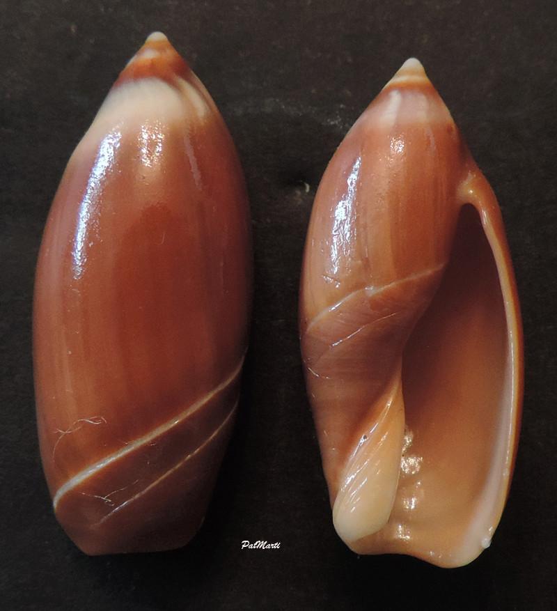 Ancilla cinnamomea - Lamarck, 1801 Ancill10