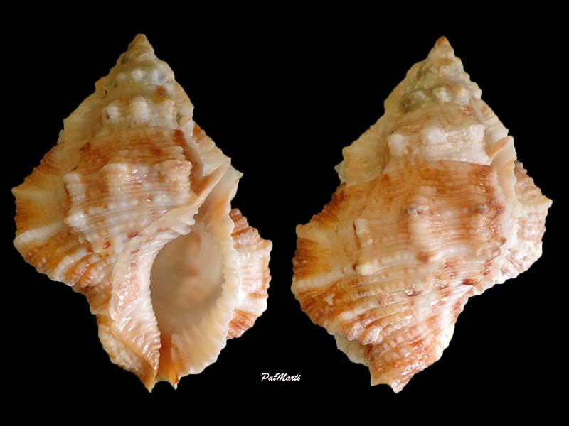 Bursina ignobilis - (Beu, 1987) Bursin13