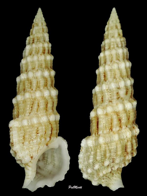 Cerithium lifuense - Melvill & Standen, 1895 Cerith12