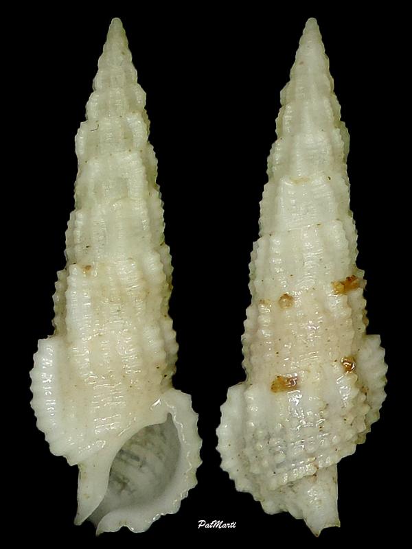 Cerithium salebrosum - Sowerby II, 1855  Cerith13