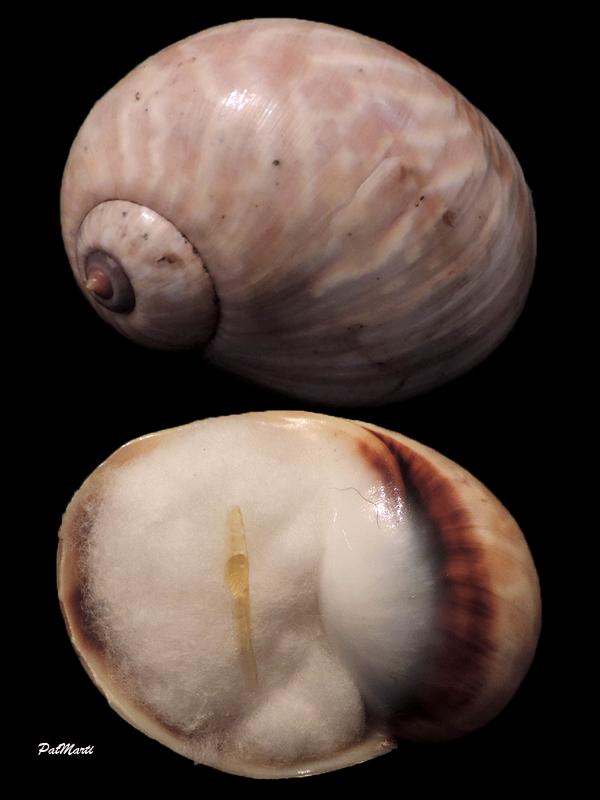 Ampullinidae - Cernina fluctuata - (G. B. Sowerby I, 1825)  Cernin10
