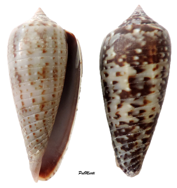 Conus (Phasmoconus) cinereus gabrielii  Kiener, 1846 Conus-13