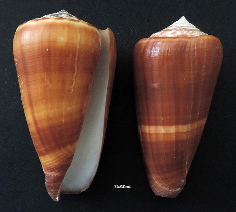 Conus (Pionoconus) carinatus (Swainson, 1822) voir Conus (Pionoconus) magus Conus-14