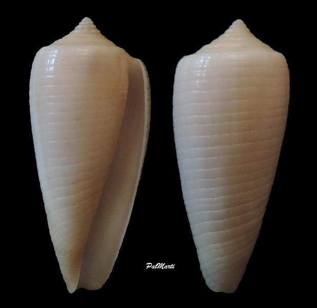 Conus (Phasmoconus) oishii - Shikama, 1977 Conus-15
