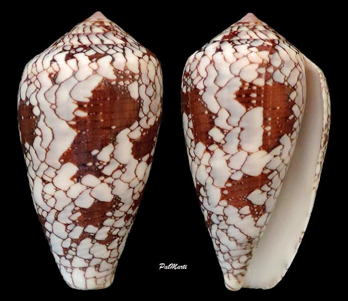 Conus (Darioconus) behelokensis   Lauer, 1989 - Page 3 Conus-21
