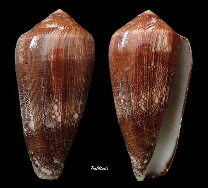 Conus (Darioconus) pennaceus elisae    Kiener, 1846 Conus-28