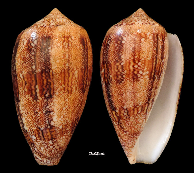 Conus (Cylinder) archiepiscopus  Hwass in Bruguière, 1792 - Page 4 Conus-33