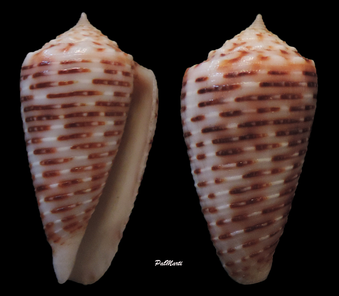 Conus (Phasmoconus) cebuensis   Wils, 1990 - Page 2 Conus-36