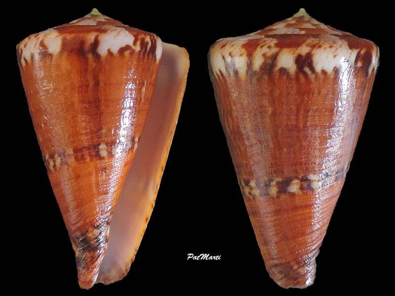 Conus (Rhizoconus) capitaneus   Linnaeus, 1758 - Page 3 Conus-39