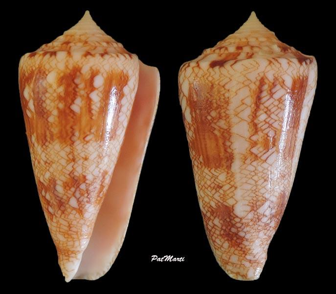 Conus (Cylinder) glorioceanus  Poppe & Tagaro, 2009 Conus-40