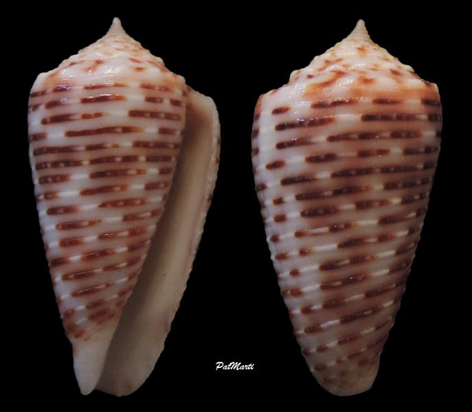 Conus (Phasmoconus) cebuensis   Wils, 1990 - Page 2 Conus-43