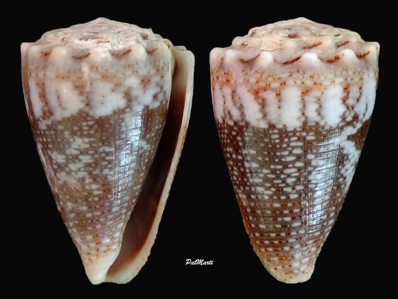 Conus (Virroconus) encaustus Kiener, 1845 Conus-48