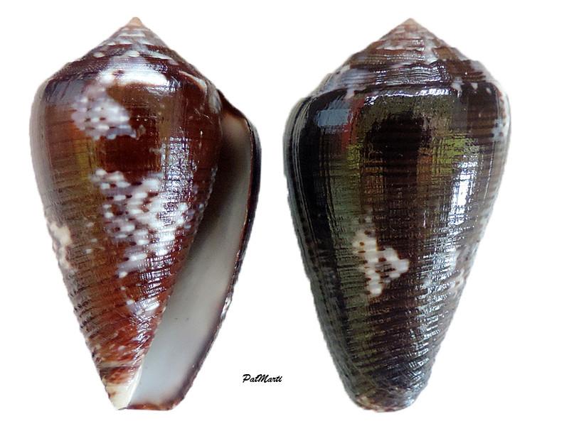 Conus (Pionoconus) easoni   (Petuch & Berschauer, 2018) Conus-50