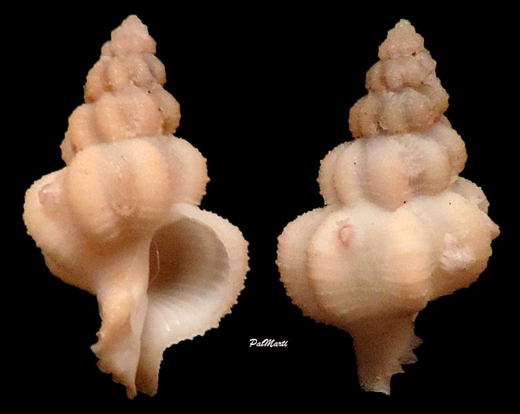 Coralliophila abnormis - (E. A. Smith, 1878) Corall10