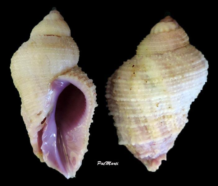 Coralliophila radula - (A. Adams, 1855) Corial11