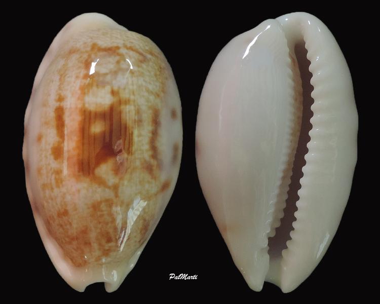 Talostolida alisonae  Burgess, 1983 voir Talostolida pellucens pellucens - (Melvill, 1888) Cyp-al10