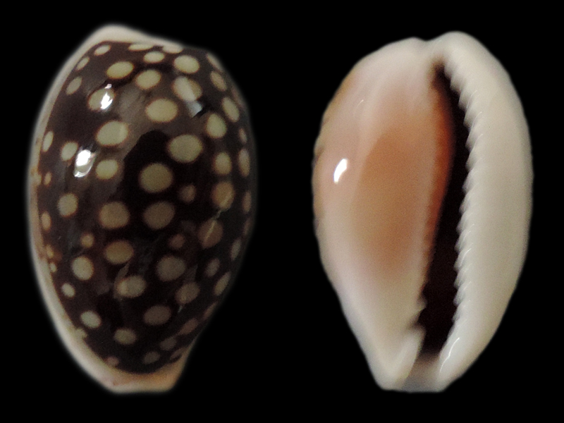 Cribrarula cribraria setepausensis - Bozzetti, 2016  Cyp-co10