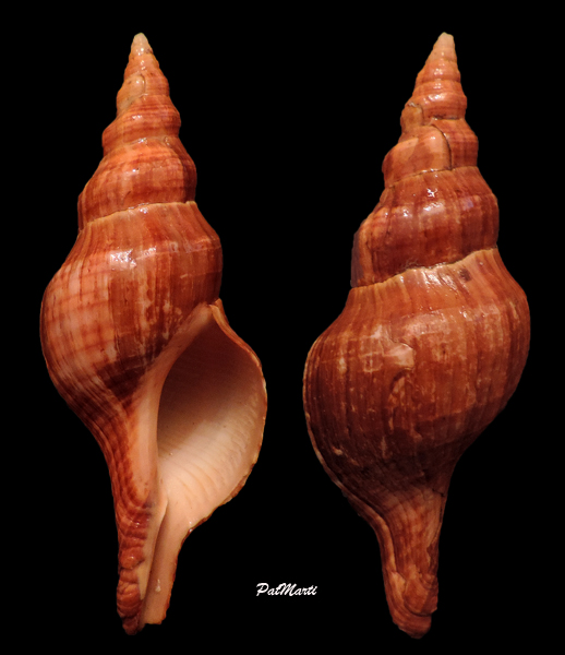 Filifusus glaber - (Dunker, 1882)  Filifu10