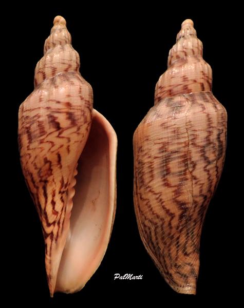 Fulgoraria hamillei - (Crosse, 1869) Fulgor11