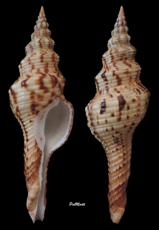 Fusinus laticostatus - (Deshayes, 1830)  Fusinu10